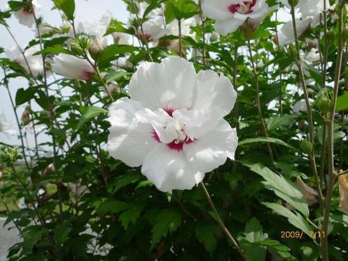 韩国国花—木槿