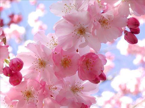 日本国花—樱花