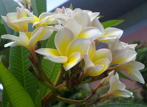 老挝国花—鸡蛋花
