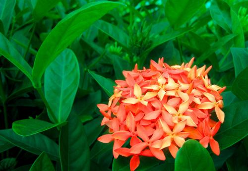 缅甸国花—龙船花