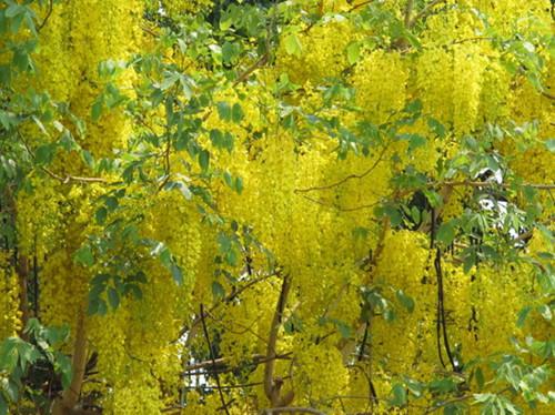 泰国国花—金链花