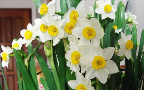 水仙花的花语是什么