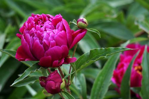 芍药花语是什么 有哪些含义?