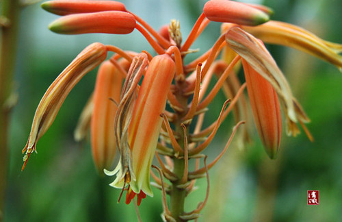 盆栽芦荟的养殖方法