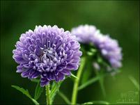 翠菊的病虫害与防治