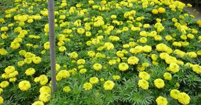 万寿菊种植方法有哪些?