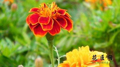 万寿菊的花期