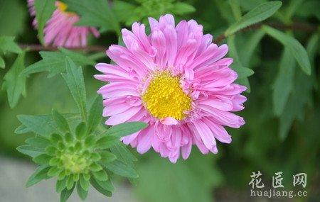 切花翠菊值得发展
