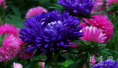 矮型翠菊的盆栽观赏