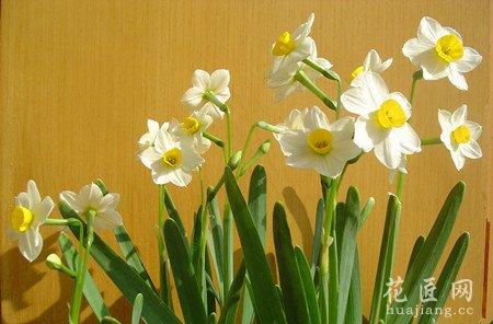 水仙花的繁殖方法与栽培方法(2)