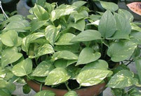 绿萝病虫害及其防治方法