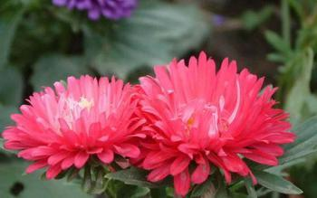 【翠菊】七月菊、蓝菊、江西腊资料大全