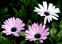 南非万寿菊繁殖方法