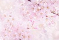 樱花的药用功效及其作用