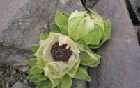 雪莲花的繁殖方法