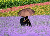 薰衣草花期以及开花时间