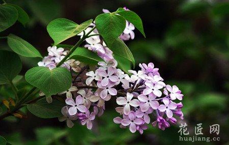 丁香属植物是阳性树,喜生长在阳光充足的地方