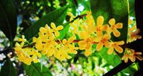 桂花树常见病虫害及其防治方法