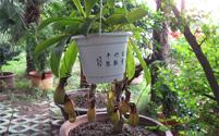 家里养殖猪笼草有什么风水作用