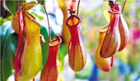 猪笼草是怎么吃虫子的呢