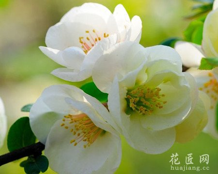 海棠花病害图片大全图片