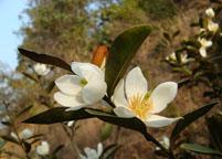含笑花的繁殖方法有哪几种呢?