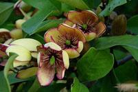 含笑花的药用功效及其作用