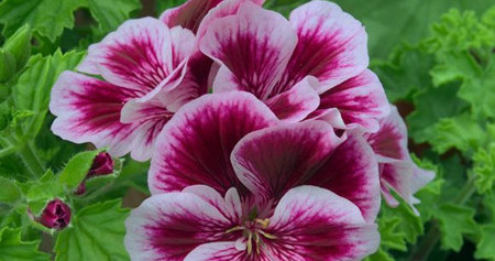 天竺葵常见病虫害防治