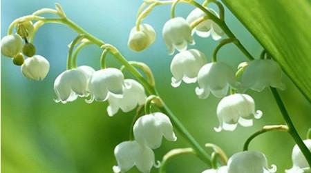 风铃草种植方法有哪些?