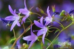 聚花风铃草的功效与作用有哪些?