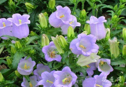以播种繁殖为主,种子细小,覆土不宜太厚、发芽适温为20—24,亦可分株或扦插育苗。花后结成蒴果,第果有种子多粒。种子极细小,可以晒干贮藏,春季或冬末春初,在塑料棚内保温播种,以利花期错开高温暑热。按小粒种子要求,整地要细致,深翻碎土2次以上,刮平地面,淋足水,然后将咱子均匀撒下。播后不再覆土或薄盖过筛细土。幼苗期用喷器喷水,并视苗的生长情况,进行间苗补苗。也可将种子保温播在沙盘内,发苗后即施复合肥。当苗高10厘米左右时,移植至圃地或上盆定植。圃地定植的株行距以20厘米x40厘米较宜,移植后
