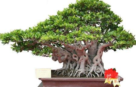 修枝:树木盆景常生出许多新枝条