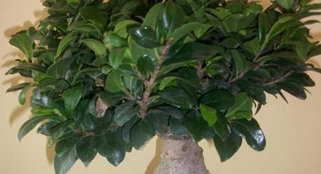 榕树盆景掉叶的原因有哪些?