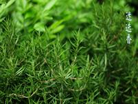 迷迭香栽培技术及其繁殖方法