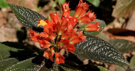 金红花的形态特征与习性的介绍