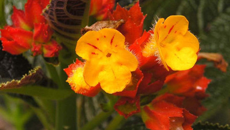 金红花的栽培技术 金红花的养护技术