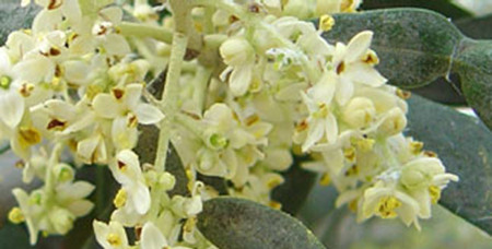橄榄花的常见病害防治