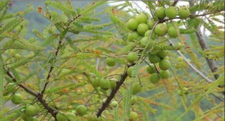 橄榄花的功效与作用