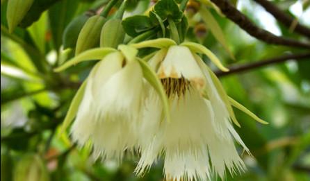 橄榄花的象征意义 橄榄花的传说