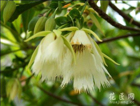 橄榄花的象征意义有哪些图片