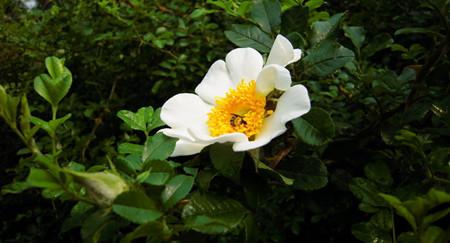 金樱子的养殖方法