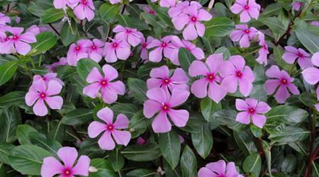 长春花的栽培技术有哪些?