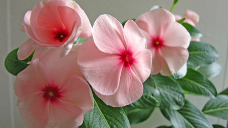 长春花的繁殖方式有哪些?
