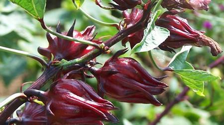 玫瑰茄的病害防治