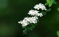 珍珠梅常见病虫害及其防治方法