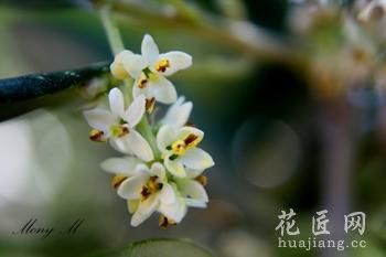 【橄榄花】橄榄花种植技术_橄榄花资料大全
