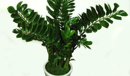 金钱树在生活中是比较常见的装饰花卉之一