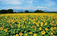 太阳花养殖的五大要点