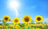太阳花药用功效及其作用