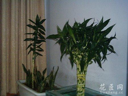 富贵竹的摆放风水需注意哪些?